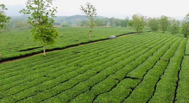 La visita alle piantagioni di tè