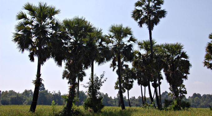 palmyrapalme