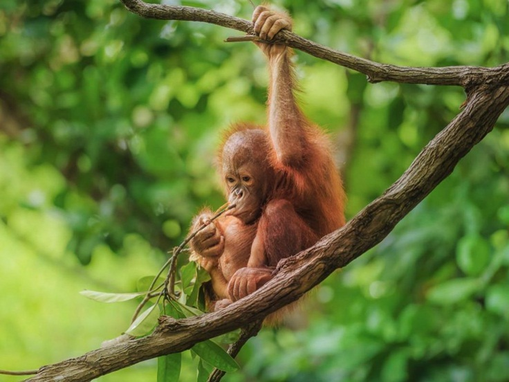 Jungle Trek To See Orangutans