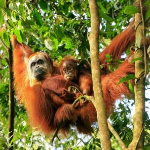 Escursione nella giungla agli oranghi di Sumatra