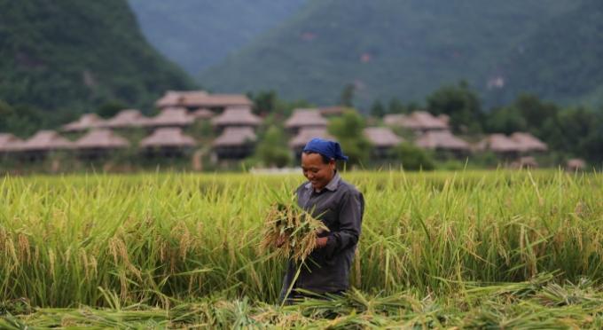 Reisfelder in Mai Chau in der Erntezeit