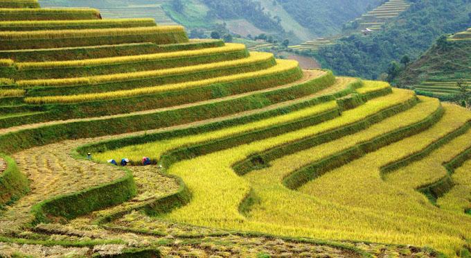 Reisfelder in Mu Cang Chai
